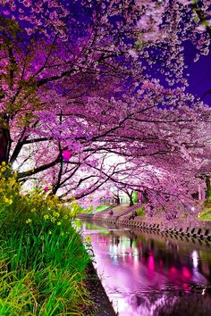 Cherry Blossoms Festival, Sakura, Japan