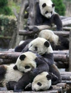 Osos panda durmiendo la siesta