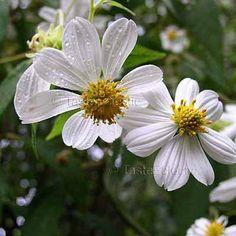 Montanoa leucantha ssp arborescens 10 seeds CHOCOLATE SCENT White GIANT TREE DAISY V RARE