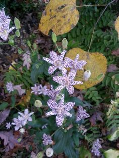Toad lily (Tricyrtis) shade fall bloomer in the garden