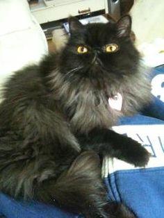 smoke persian cat