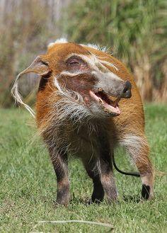 Happy Hog [warthog with a grin!]