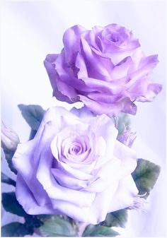 Pretty Roses, Beautiful Roses, Beautiful Gardens, Lavender Roses, Purple Roses, Hearts And Roses, Lilac Color, Floral Photography, Rose Wallpaper