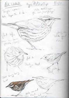 Стеф 'Торп. Птица Художник и иллюстратор | Работа видов птиц с Британских островов и за ее пределами (специалист в Великобритании редких птиц)