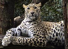 Panic in indian city with leopard on the prowl dating