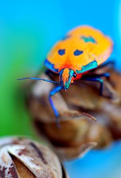Bright colored bug