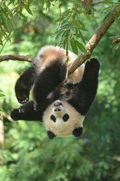 Bao Bao, giant panda cub at the Smithsonian National Zoo But is it Art? Bao Bao, giant panda cub at the Smithsonian National Zoo The Animals, Cute Little Animals, Funny Animals, Wild Animals, Niedlicher Panda, Panda Love, Cute Panda, Image Panda, Panda Mignon