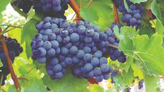How to Grow Grapes, Growing grapes in containers, grapevine care, Growing Grapes from Seed, and the Grape plant. Grapes are a woody perennial vine. Cabernet Sauvignon, Vine And Branches, Grapevine Growing, Grape Plant, Sonoma Wineries, Wine Auctions, Fruit Picture, In Natura, Healthy Seeds