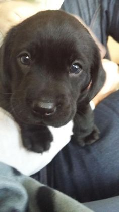 Mind Blowing Facts About Labrador Retrievers And Ideas. Amazing Facts About Labrador Retrievers And Ideas. Cute Lab Puppies, Cute Dogs, Dogs And Puppies, Doggies, Beagle Puppies, Most Popular Dog Breeds, Best Dog Breeds, Best Dogs, Labrador Retrievers