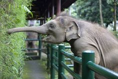 A cheerful young elephant stretches over a barrier to get to a tasty meal. Amateur photographer Anne Young snapped this shot at an elephant sanctuary in Ubud, on the island of Bali