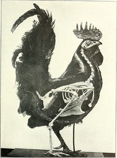 Skeleton of a Chicken (Gallus gallus domesticus) Superimposed over the basic form of the fowl, to give a better approximation of how the musculature and feathering of the animal is constructed. The bird; its form and function. Animal Skeletons, Animal Skulls, Anatomy Reference, Art Reference, Sibylla Merian, Animal Anatomy, Animal Bones, Anatomy Drawing, Skull And Bones