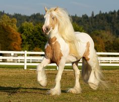 Gypsy Vanner. Favorite horse of all time.