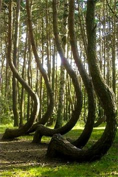 The Amazing Crooked Forest In Poland | Stunning Places