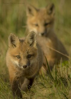 Playful, and curious Cape Breton, Foxes, Wildlife, Babies, Unique, Animals, Babys, Animales, Animaux