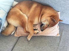 #shibainu #inu #shiba #shibagirl #shibadog #shibadoge #redshiba #shibagirl #dog #doggy #doge #sleepingdog #sleepingbeauty #cute #funny #pictureoftheday #piesel #kira #dogsofinstagram