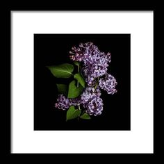 Lilac Isolated On Black Background Framed Print by Sankai. All framed prints are professionally printed, framed, assembled, and shipped within 3 - 4 business days and delivered ready-to-hang on your wall. Choose from multiple print sizes and hundreds of frame and mat options. Black Wood, Hanging Wire, Clear Acrylic, Black Backgrounds, Fine Art America, Lilac, Design Inspiration, Framed Prints, Artwork