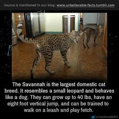 The Savannah is the largest domestic cat breed. It resembles a small leopard and behaves like a dog. They can get up to 40 pounds, have an 8 ft vertical jump, and can be trained to walk on a leash and play fetch!