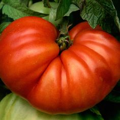 Secrets to Tomato Growing Success