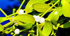 Can an extract from mistletoe actually treat cancer? http://blog.lifeextension.com/2015/06/can-mistletoe-treat-cancer.html #iscador #cancer