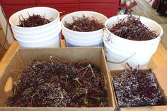 Elderberries – How to Make Syrups and Jellies | | Common Sense HomesteadingCommon Sense Homesteading