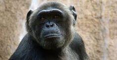 chimpance - Buscar con Google