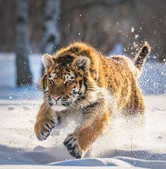 Fluffy tiger