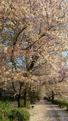 Sakura @ Okayama Korakuen (Japan) April 12, 2012