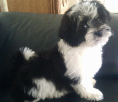 White and black Havanese puppy looking at the camera.JPG #catsbreedsabyssinian
