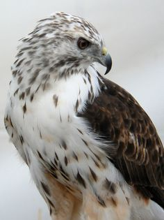 Light phase Harlan's Hawk (B. j. harlani) is a subspecies of the Red Tail Hawk. This beautiful girl was rescued and lives in a sanctuary in Oregon. She is blind in one eye and kept flying into windows. Thank God she was saved! photo by BirdFellow