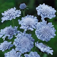 butterfly blue scabiosa perennial, deer avoid, flower spring to fall with dead heading, I'll put in a pot