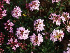 Flowering and Delightfully Fragrant | Ramblin' through Dave's Garden