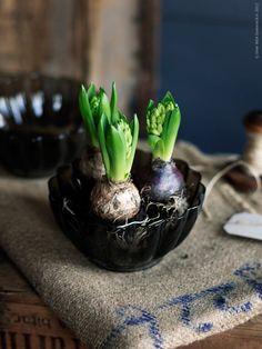 Hyacinths in a VÅRLIKT bowl.  Fresh buds beginning to emerge and blossom into beautiful hyacinths