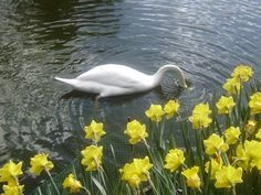 - Daffodils, Spring Flowers, Spring Time, Easter, Swans, Dutch, Cottage, Colours, Park
