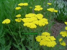 Attracts lacewings, whose larvae feed on aphids. Also attracts ladybirds and hoverflies. Achillea, Beneficial Insects, Ornamental Plants, Edible Garden, Fruits And Vegetables, Organic Gardening, Planting Flowers, Lacewings, Google