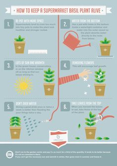 Infographic about how to take care of a basil plant alive.