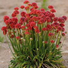 Armeria Maritima Joystick- Red- Drumstick Thrift-Good for cut flowers, Perennial Armeria SeedsArmerias are tough, easy to grow, compact perennials which forms tufts of narrow,stiff evergreen leaves. Armeria plants are topped with bright, globular, clover-like flower heads on long stems in spring and early summer. Sturd