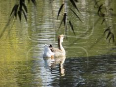 Goose Animals, Animales, Animaux, Animal, Animais