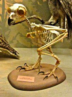 owl skeleton - Google Search