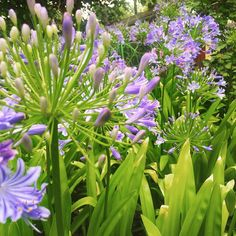 Lief elke hoekie van my tuin!  #agapanthus #summer #blooms #mygarden #purple #green #nature Shop Now for one of a kind handmade clothing. Matching Mommy Me Outfits