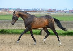 Akhal-Teke horses for sale Horse Adventure, Akhal Teke Horses, Most Beautiful Horses, Horses For Sale, Horse Photos, Warrior Cats, Horse Care, Wild Horses, Exotic Pets