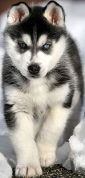 Miniature Huskies were primarily developed in Alaska to be more of the family dog when compared to its brother, the siberian husky. Check out some different pictures of a miniature husky. Cute Husky Puppies, Siberian Husky Puppies, Rottweiler Puppies, Husky Puppy, Dogs And Puppies, Huskies Puppies, Pomeranian Husky, Havanese Dogs, Adorable Puppies