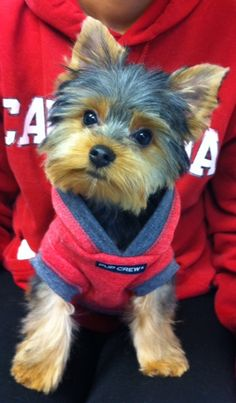 Yorkie, Parti Yorkie, Shih Tzu, and Maltese Puppies for sale in Southern Pennsylvania from an In-Home breeder with over 42 years of experience Yorky Terrier, Yorshire Terrier, Bull Terriers, Cute Puppies, Cute Dogs, Dogs And Puppies, Poodle Puppies, Yorkies, Yorkie Cuts