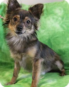 Hagerstown, MD - Chihuahua/Papillon Mix. Meet Bowie, a dog for adoption. http://www.adoptapet.com/pet/15326327-hagerstown-maryland-chihuahua-mix