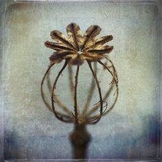 Poppy seed-head skeleton