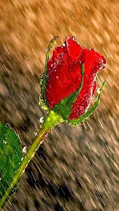 Rosa bajo la lluvia.