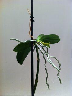 Orchidee che passione, come coltivare e curare le nostre orchidee, suggerimenti e idee per il corretto mantenimento delle nostre piante.