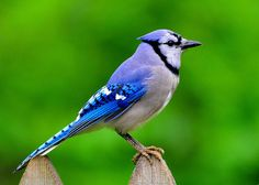 """Blue Jay"" by Keith Collins"