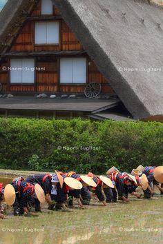 Rice planting at Shirakawa Village, Japan