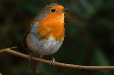 The European robin (Erithacus rubecula) explore Mar 2015 Robin Tattoo, European Robin, Robin Bird, Cute Birds, Birds Of Prey, Beautiful Horses, Explore, Robins, Illustration