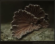 'Spaltis' ~ Schizophylum commune fungi...a great medicinal! Click on the image to view the amazing detail in this image